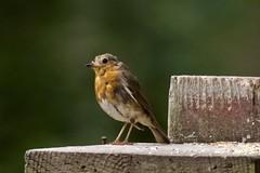 Robin Redbreast (georgehart64) Tags: zoomlens fauna ef100400mmf4556lisiiusm canon70d canon westhill aberdeen aberdeenshire scotland wood carniewoods smallbird bird redbreast robinredbreast robin