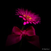 Gerbera (Magda Banach) Tags: canon canon80d sigma150mmf28apomacrodghsm blackbackground colors flora flower gerbera macro nature pink plants purple