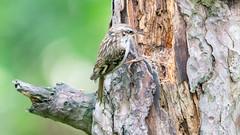 Grimpereau des jardins / Short-toed treecreeper (julienmartlet) Tags: oiseau grimpereau baiedesomme shorttoed treecreeper france a7rii 100400