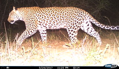 Umkhumbi leopard caught in the flash of a camera trap