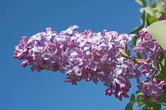 Fragrance of summer (atranswe - working in the garden) Tags: dsc4292 sweden sverige västernorrland ångermanland väja n62°5818e17°42 garden trädgård blåhimmel bluesky lilacs syrener purple lila flowers buske bush plant blomma out outside ute atranswe