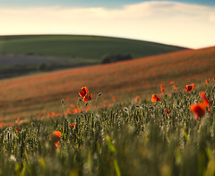 Above the crowd (Through Bri`s Lens) Tags: sussex poppies sompting red field crop farm farmer agriculture brianspicer canon5dmk3 canon24105f4l lee09softgrad