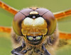 Four-spotted Chaser, colour form praenubila (Roger H3) Tags: insect odonata dragonfly chaser four spotted