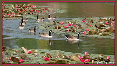 Canada Geese (maryimackins) Tags: canada geese lilies water wildlife sussex sheffield park
