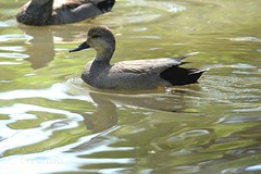 Gadwall -Anas strepera (jessica.rohrbacher) Tags: gadwall duck anas strepera anatidae calgary alberta canada spring migrants migration avian