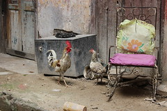chickens (Jackal1) Tags: chickens cuba havana courtyard chair decay textures cock hen soe