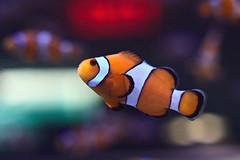 IMG_8932 (giltay) Tags: fish clownfish takumarsmc55mmf18