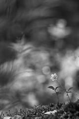 Shy starflower (- Man from the North -) Tags: arcticstarflower starflower flowerphotography flower forestflower intheforest nature monochrome blackandwhite bokehliciuos bokeh finland suomi dof nikond500 tamron150600