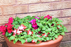 DSC_0181 Busy Lizzie & Petunias (PeaTJay) Tags: nikond750 sigma reading lowerearley berkshire macro micro closeups gardens outdoors nature flora fauna plants flowers