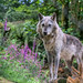 Wolf among the Foxgloves