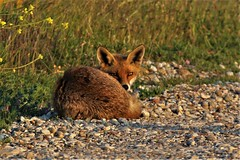 Red Fox:   (Vulpes vulpes)  Dengemarsh . Taken in the early evening Sun (GrahamParryWildlife) Tags: fox sunbathing curled up sleepy kent dungeness romneymarsh kentwildlife grahamparrywildlife top 20 foxes graham parry animal outdoor sigma 150600 sport 150 600 canon 7d mkii depth field mk2 uk rspb viewing photo flickr add new sunlight blue dof green sun light leaves focus tiny yellow young wildlife red evening vulpes alert stare resting unusual dengemarsh