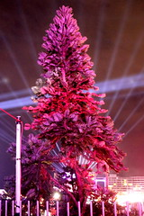 Wollemi Pine (Wollemia nobilis) (Poytr) Tags: wollemipine araucariaceae wollemia wollemianobilis circularquay sydneyaustralia sydney nsw australia vivid2018 tree arfp nswrfp arfstreettree plantedtree