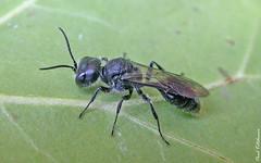 Pemphredon species (a Hunting Wasp) (Eyeing moths, mostly) Tags: hymenoptera