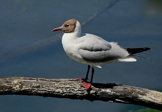 Black-headed Gull --- Chroicocephalus ridibundus
