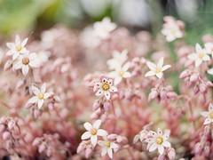 Succulent Blooms (Jam-Gloom) Tags: olympusomdem5 olympusomd olympusuk olympus omd em5 omdem5 uk lensbaby manualfocus bokeh bokehlicious bokehful swirlybokeh lensbabyburnside lensbabyburnside35 lensbabyburnside35mm28 burnside 35mm succulent succulentflower succulentflowers flower floral flowerphotography floralphotography
