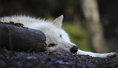 Woodland Wolf (TW Olympia) Tags: wolf woodland park zoo sleeping tired sleepy log