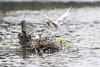 Livraison à domicile - Home delivery (bboozoo) Tags: nature animal wildlife sterne commontern lac lake canon6d tamron150600 poisson fish nid nest bois wood