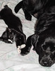 Tuxedo Cat Kitten and Black Lab Touching Paws (scattered1) Tags: boone cat labradorretriever oliver blacklab canine dog feline pet tuxedo touch affection paw