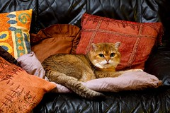 #Cliché I am the king of the jungle HFF (Ker Kaya) Tags: cliché cat cute sweet pillow green eyes comfortable cushion sofa jungle funny lovely look looking face portrait hff flickrfriday friday kerkaya sony sonydscrx10m4 king lion lionking ff orange rx10 rx10iv rx10m4 carlzeiss rx10miv
