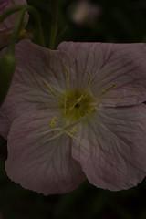 jdy143XX20180523a2266Bias-1.7 stops.jpg (rachelgreenbelt) Tags: ghigreenbelthomesinc oenotheraall usa oenotheraberlanderisiskiyoupink greenbelt ordermyrtales midatlanticregion ouryard rosids americas subfamilyonagreae northamerica maryland familyonagraceae eudicots magnoliophyta eveningprimrose floweringplants myrtales myrtalesorder oenothera onagraceae onagraceaefamily onagreae onagreaesubfamily spermatophytes suncup sundrop