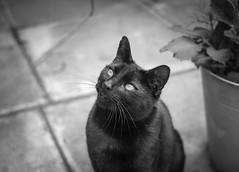 Krafty (Rob Pitt) Tags: cat blackwhite story pet yongnuo 35mm 750d canon