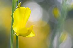 Fantastic spring (pasquale di marzo) Tags: flowers fiori colori ginestre gialle esterno parco macro 2018