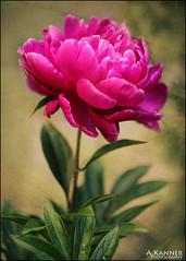 Peony... (angelakanner) Tags: canon70d carl zeiss peony garden longisland pink texturelayer vintage lens