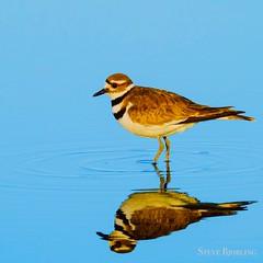 Killdeer Plover (otterdrivernw) Tags: wildlife fujix xseries xf100400 xf100400mm xt2 fujifilm fuji seabirds water reflections ringedplover killdeer plover birds