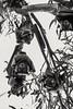 Megabat heaven (Spiral Ape Photography) Tags: megabat fruitbat flyingfox australia portdouglas staring glare gang bat hanging branch looking upsidedown blacknwhite bnw monochrome