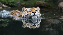 TOMAK (babsbaron ( Bella )) Tags: nature tiere animals säugetiere mammals katzen grosskatzen raubkatzen cats big tiger sibirisch siberian zoo leipzig canon eos