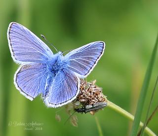 Common blue(m)
