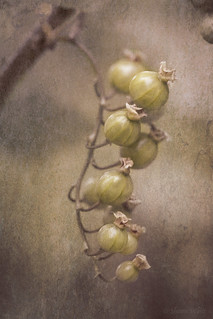 Unripe Red Currants