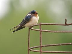 Barn Swallow, Gisland Farm Community Garden (Bill Bunn) Tags: barnswallow falmouth maine