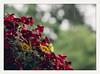brief respite (chickentender™ (Eyewanders Foto)) Tags: 67smc10524adapted fotodiox bloomsandprettystuff bokeh dof eyewandersfoto film flowers hilo lastdayofmay2018 mayflowers pentaxk3 rainyday showers testshots
