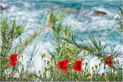 poppies in the wind ... (miriam ulivi - I have not.Internet.connection) Tags: miriamulivi nikond7200 liguriasestrilevante papaveri poppies wildflowers fiorispontanei mare sea ranuncoligialli yellowbuttercups erba grass nature 7dwf
