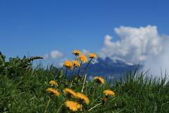 nature (bulbocode909) Tags: valais suisse mex montagnes nature prairies fleurs pissenlits printemps nuages vert jaune bleu groupenuagesetciel