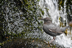 American Dipper with bugs for its brood (Minder Cheng) Tags: sierravalley americandipper sierracity california unitedstates us