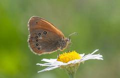 Közönséges szénalepke (Coenonympha glycerion) (Torok_Bea) Tags: szénalepke coenonymphapamphilus nikon nikond300 d300 nature natur home butterfly sigma sigma105 macro glycerion coenonymphaglycerion