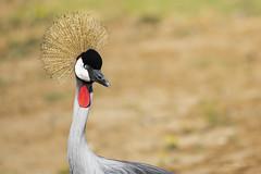 Grey Crowned crane (AkDExplorer) Tags: captive california crane african san diego califiornia