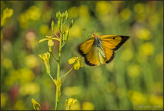 2 giugno 2018 (adrianaaprati) Tags: park plants colors flowers spring june butterfly coliascrocea insect bokeh blur yellow green brown flight wings