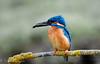 kingfisher 2 (barragan1941) Tags: deltadeldanubio aves fauna martinpescador pajaros