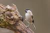 Marsh Tit D85_2728.jpg (Mobile Lynn) Tags: nature birds tits marshtit bird fauna oscines passeri passeriformes poecilepalustris songbird songbirds wildlife coth specanimal coth5 ngc npc