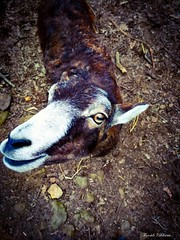 Goat (kovatsv) Tags: nature goat anima portrait curious