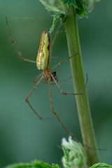 Streckerspinne (planetvielfalt) Tags: arachnida araneida araneomorphae arthropoda auenwald chelicerata tetragnathidae schkeuditz sachsen deutschland