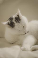 🐈 (martinap.1) Tags: cat katze nikon haustier d3300 pet sliderssunday 105mmmacro makro macro