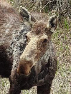 Teton - Moose Portrait