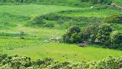311 - Cap Corse, Rogliano, les moutons au pied des ruines du château Castellacciu San Columbanu (paspog) Tags: rogliano corse captcorse montagne mountain berg france mai may 2018 moutons sheep