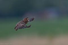 a little angel for me (eric-d at gmx.net) Tags: littleowl steinkauz athenenoctua eric ngc owl eule kauz wildlife young