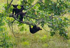 Baby Bears (Brad Lackey) Tags: blackbear cubs babybears bearcub gsmnp greatsmokymountains nationalpark cadescove tennessee tulippoplar climbingtrees hangingout spring morning wildlife nikon200500mm d7200