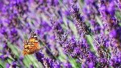 Il ritorno della lavanda (Luc1659) Tags: farfalla lavanda colori profumo butterfly lavender colors flowers